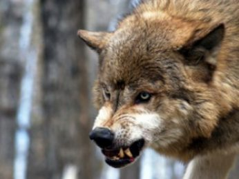 wolf-slide1