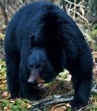 black-bear-montana-01
